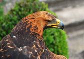 águila con vista aguda — Foto de Stock