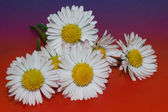 Daisy flower on colored background — Stock Photo