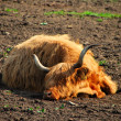 High land cattle sleep — Stock Photo