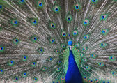 Peacock in zoo — Stock Photo