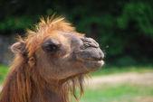 Camel look into the sun — Stock Photo