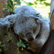 Stock Photo: Little koala