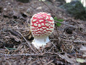 Little fly agaric — Stock Photo