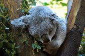 Little koala — Stock Photo