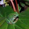 Frog sits comfortably on bloom leaf — Stock Photo