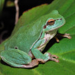 Green frog sitting on a green leaf - Stock Photo