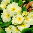 Primrose after rain — Stock Photo