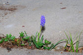 Grape hyacinth between concrete — Stock Photo