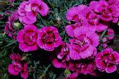 Sacco di rosa — Foto Stock