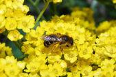 Bee on yellow — Stock Photo
