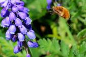 Bumblebee flies — Stock Photo
