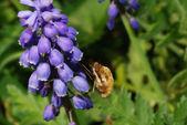 Bumblebee sucks — Stock Photo