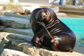 Seal sits — Stock fotografie