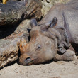 Rhino sleeps — Stock Photo