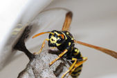 Wasp and nest — Stock Photo