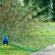 Male and female peacock — Stock Photo