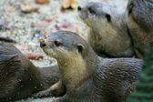 A family of otters — Stock Photo