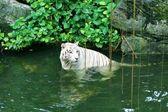 белый тигр в воде — Стоковое фото