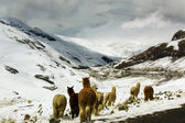 Llamas in snowy mountains — Stock Photo