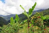 Banana tree in the mountains — Stock Photo