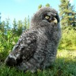Stock Photo: Nestling of owl common