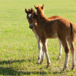 Two foals - Foto Stock