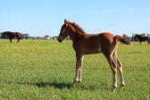 Peeing foal — Stockfoto