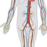 Постер, плакат: Human body