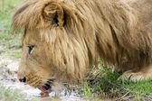 African lion (Panthera leo) — Stockfoto