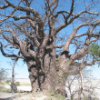 Stock Photo: Baines' Baobab, Nxai PNational Park, Botswna