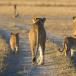 Lioness with cubs — Stock Photo #5874246