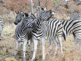 Zebras (Equus burchellii) — Stock Photo