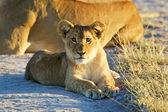 Lion cub at dawn — Stock Photo