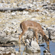 Mal impala is drinking at the water hole — Stock Photo #5889512