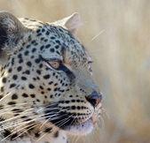 Leopard (Panthera pardus) — Fotografia Stock