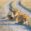 Stock Photo: Two africlioness with cubs