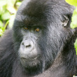 Female mountain gorilla — Stock Photo #5901503