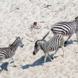 Stock Photo: Zebras (Equus burchellii)