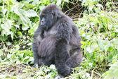 Old female mountain gorilla — Stock Photo
