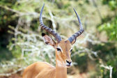Male Impala — Stock Photo