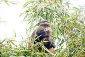 χρυσή μαϊμού — Φωτογραφία Αρχείου