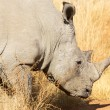 White rhino — Stock Photo #5915463