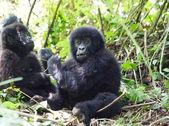 Jonge berggorilla in diepe bossen — Stockfoto
