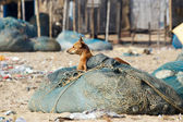 Dog at the indian fisherman village — Stock Photo