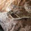 Stock Photo: Rattle snake