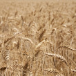 Royalty-Free Stock Photo: Wheat Ears