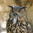 Royal owl - Stock Photo