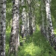 Birches. - Stock Photo