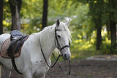 Horse in a harness — Stock Photo