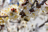 Ameixa flores — Fotografia Stock